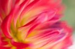 Dahlia Close-up I