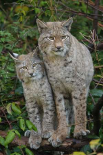 Lynx mother with cub, Bavarian Forest National Park, Bavaria, Germany