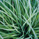 Grass with Morning Dew