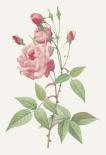 Rosa Indica Vulgaris