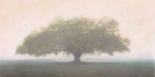 Oak in the Fog